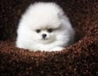 南京出售博美幼犬 南京哪里有卖纯种健康博美犬 包健康纯种