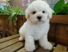 法国棉花糖卷毛比熊幼犬,温驯体贴善解人意