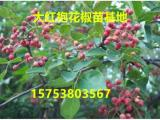 花椒苗-广安花椒苗基地