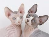 萌寵來襲,藍眼斯芬克斯,重點色加拿大無毛貓