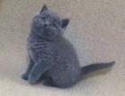 烟台哪里出售蓝猫 烟台蓝猫多少钱 烟台蓝猫哪家好