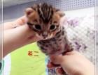 多窝可选 北京实体猫舍 专业繁殖 赛级 纯种 豹猫
