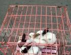 出售自家兔子