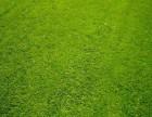 山东济南绿化草坪供应山东潍坊园林草坪山东济宁园林绿化草坪供应