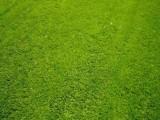 山東濟南綠化草坪供應山東濰坊園林草坪山東濟寧園林綠化草坪供應