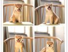 实体犬舍繁殖纯种健康日系柴犬 活泼聪明 多只可选