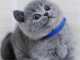 上海長寧純血英短藍貓幼崽價錢