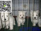 丽江哪里有卖西高地犬 丽江西高地犬多少钱 丽江西高地犬图片