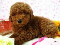 高品质泰迪犬出售,小狗免疫期已过保健康纯种
