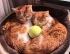 两只1岁小橘猫 送猫包猫窝猫粮猫砂 200元