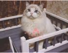 南宁布偶猫多少钱 南宁哪里出售的布偶猫幼犬价格较便宜
