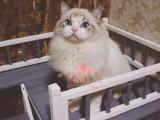 南宁布偶猫多少钱 南宁哪里出售的布偶猫幼犬价格最便宜