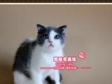 美萌美萌的蓝白折耳猫小美女--《思晴名猫坊》