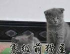 首选英短蓝猫蓝白亲人又爱干净萌宠家的蓝猫品相**
