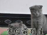 首选英短蓝猫蓝白亲人又爱干净萌宠家的蓝猫品相一流
