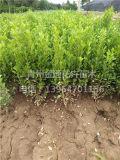 想要品质好的小叶黄杨就来金通花卉苗木|社区绿化用小叶黄杨