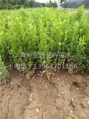 小叶黄杨供货商-供应山东有品质的小叶黄杨