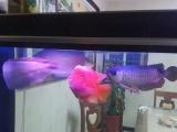 银龙鱼,金龙鱼,鹦鹉鱼低价处理