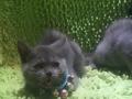 双胞胎蓝猫妹子