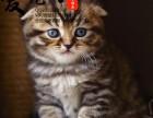 纯种折耳猫基地 上海爱宠网品牌猫舍 多只挑选有保障