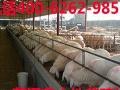 2-3个月的小尾寒羊多少钱一只