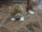 两个月大的长毛加菲