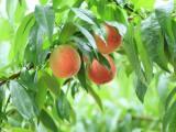 阳山水蜜桃是一家专业从事无锡水蜜桃苗、无锡阳山水蜜桃苗生产与