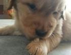 纯种金毛幼犬