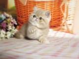 潍坊哪里有加菲猫卖 自家繁殖 品相极佳 多只可挑
