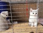 三美短公猫两折耳母猫