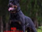 出售纯种罗威纳幼犬 3年质保
