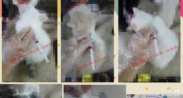 蔓蔓の加菲猫:近期豹猫、高地长毛猫、苏格兰折耳猫、
