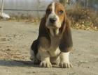 儋州什么地方有狗场卖宠物狗/儋州哪里有卖巴吉度犬