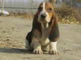 运城什么地方有狗场卖宠物狗/运城哪里有卖巴吉度犬