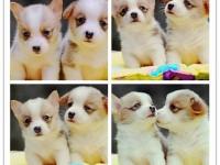 广州哪里有卖柯基犬 纯种柯基犬哪里买好 哪里买柯基犬好