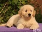 纯种赛级金毛 巡航犬 导盲犬 爱家的守护神