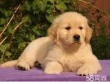純種賽級金毛 巡航犬 導盲犬 愛家的守護神