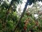 莱山大樱桃绿色采摘园