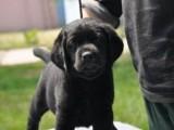 佛山纯种拉布拉多犬价格多少钱一只 佛山在哪里有卖拉布拉多犬