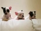 厦门本地犬舍出售纯种法斗幼犬500质保三年签署协议