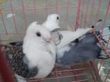 什么地方有养殖元宝鸽的
