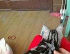 绿眼美短银虎斑标斑种公八个月