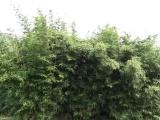 供应慈孝竹苗 竹类植物 绿化苗 工程苗