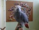 转让会说话的灰鹦鹉