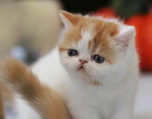 精品萌猫宝贝找新家啦,欢迎各位把它带回家哦