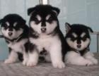 专业正规犬舍热卖优秀的阿拉斯加以品质惊世人