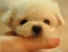 武汉狗狗之家长期出售高品质 泰迪 售后无忧