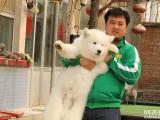 出售纯版 微笑天使 萨摩耶犬,品相纯正 保证健康