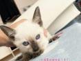 暹罗猫幼崽找新家 800元