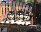重庆狗场直销,纯种阿拉斯加幼犬,三个月包退换签协议送用品